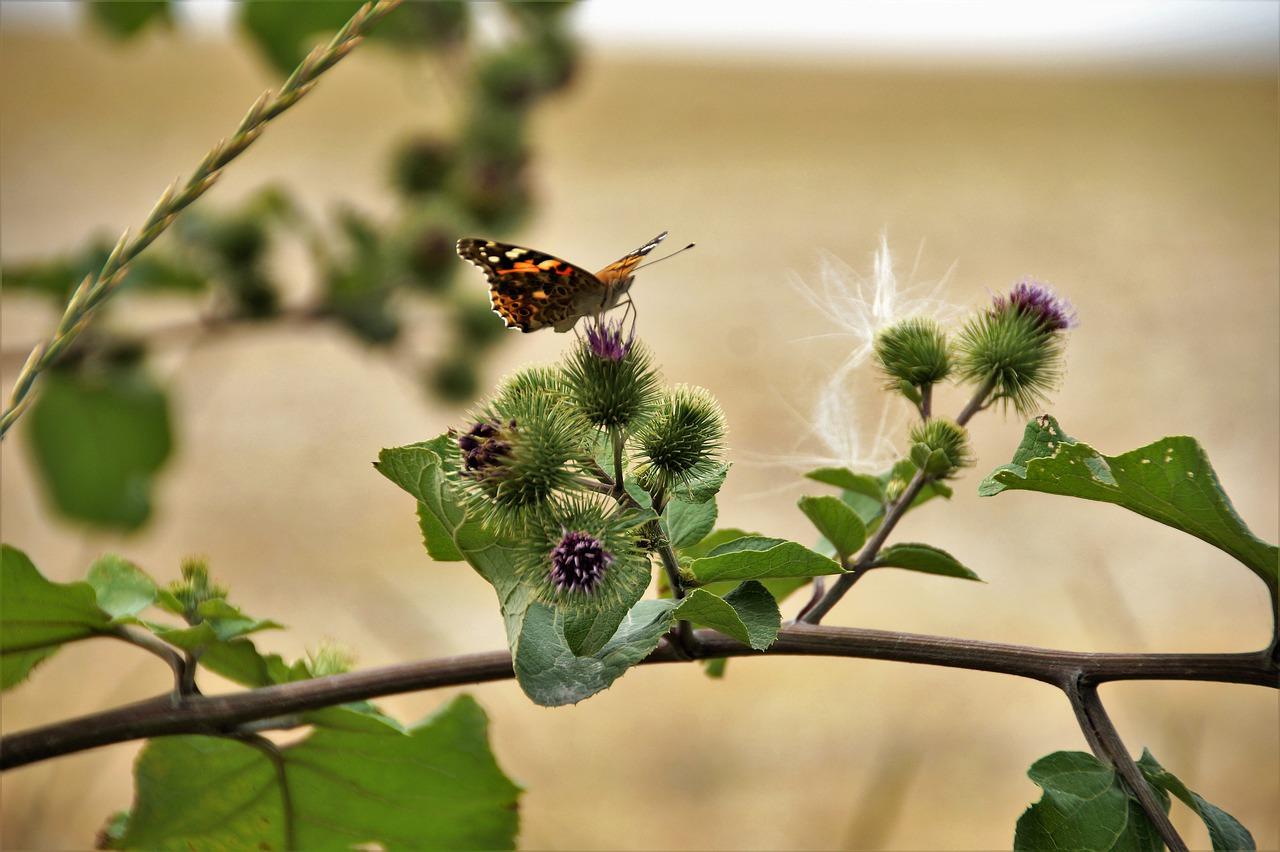 motýl na bodlácích