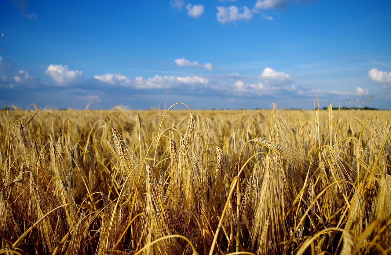 pěstování obilí